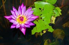与叶子虫咬的紫色莲花 免版税库存照片