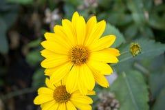 与叶子金盏草的花 金盏草officinalis或英国万寿菊 免版税库存照片