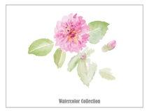 与叶子水彩传染媒介的桃红色玫瑰 库存图片