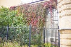 与叶茂盛纹理的红色秋季爬行物对墙壁 库存图片