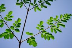 与叶蕾的树枝 图库摄影