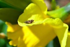 与叶蝉的黄水仙 库存照片