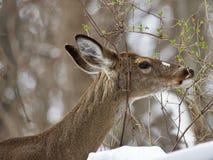 与吃叶子的一头野生鹿的美好的被隔绝的图象在多雪的森林里 免版税图库摄影