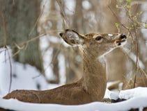 与吃叶子的一头野生鹿的美好的被隔绝的背景在多雪的森林里 免版税库存照片