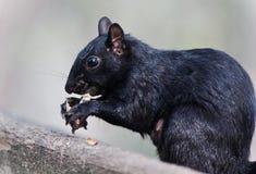 与吃坚果的一只滑稽的灰鼠的背景 库存图片