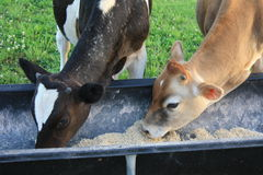 与吃的头的公牛下来 免版税库存图片