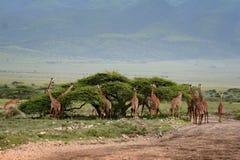 与吃草一个小组的非洲风景的长颈鹿 免版税库存照片