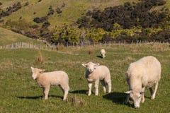 与吃草两只的羊羔的绵羊 免版税库存图片