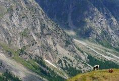 与吃草两头的母牛的风景 免版税图库摄影