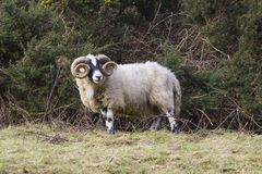 与吃草在坚固性Mourne山的冬天牧场地的扭转的垫铁的一只大公羊在县下来在北爱尔兰 免版税库存图片