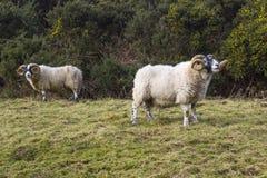 与吃草在坚固性Mourne山的冬天牧场地的扭转的垫铁的一只大公羊在县下来在北爱尔兰 免版税库存照片