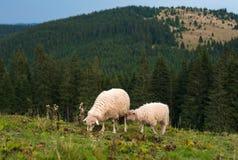与吃草在山的一个绿色牧场地的羊羔的一只绵羊 库存照片