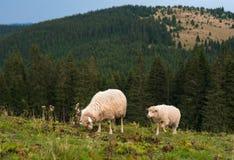 与吃草在山的一个绿色牧场地的羊羔的一只绵羊 免版税库存照片