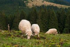 与吃草在山的一个绿色牧场地的羊羔的一只绵羊 免版税图库摄影