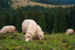与吃草在山的一个绿色牧场地的羊羔的一只绵羊 库存图片