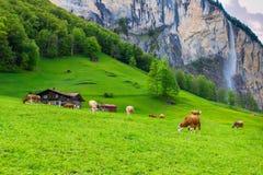 与吃草在新绿色山pastur的母牛的夏天风景 免版税库存照片