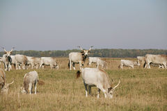 与吃草在牧场地夏天的小牛的匈牙利灰色牛母牛 免版税库存图片