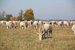 与吃草在牧场地夏天的小牛的匈牙利灰色牛母牛 库存照片