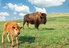 与吃草在牧场地的小小牛的巨大的棕色母水牛 免版税图库摄影