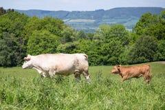 与吃草在牧场地的小牛的白色母牛 免版税库存图片