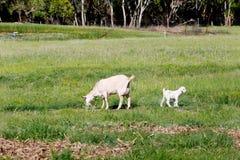 与吃草在象草的小牧场的水坝母亲的幼小白色孩子山羊 库存图片