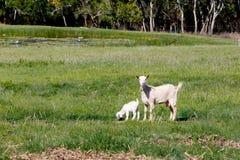 与吃草在象草的小牧场的水坝母亲的幼小白色孩子山羊 免版税图库摄影
