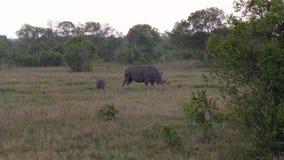 与吃草在非洲大草原的草原的婴孩的犀牛在雨中 股票视频