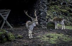 与吃草在饲养者的鹿的小鹿在森林里 免版税库存照片