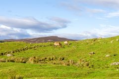 与吃草在高地野生生物徒步旅行队公园的Przewalski的野马的苏格兰风景,苏格兰 图库摄影