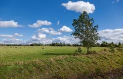 与吃草母牛的夏天风景 免版税库存图片