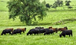 与吃草母牛的田园诗绿色风景 免版税库存照片