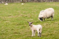 与吃草母羊的羊羔 图库摄影