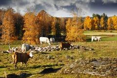 与吃草牛的老农村秋天风景 免版税库存图片
