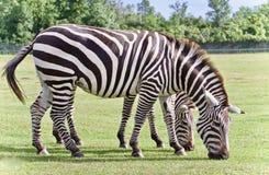 与吃草的两匹斑马的明信片 图库摄影
