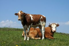 与吃草的小牛的一头母牛 免版税库存照片