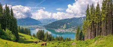与吃草的母牛和著名Zeller湖,萨尔茨堡,奥地利的田园诗高山风景 免版税库存图片