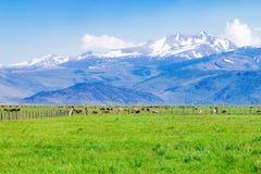 与吃草的母牛的田园诗夏天风景 免版税图库摄影