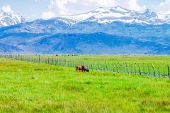 与吃草的母牛的田园诗夏天风景 库存照片