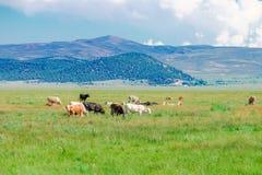 与吃草的母牛的田园诗夏天风景 库存图片