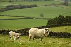 与吃草的羊羔的母羊 免版税图库摄影