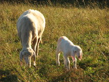 与吃草绵羊的母亲的幼小羊羔 库存照片