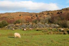 与吃草绵羊的爱尔兰风景在一个绿色草甸 免版税库存照片
