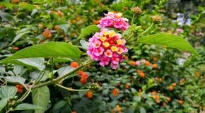 与各种各样的颜色树荫的桃红色花 库存图片