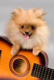 与吉他的Pomeranian 图库摄影