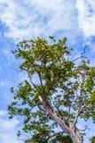 与后边蓝天云彩的树 图库摄影