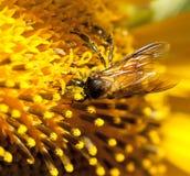 与向日葵关闭的蜂 免版税图库摄影