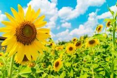与向日葵庭院和蓝天的背景 免版税库存照片