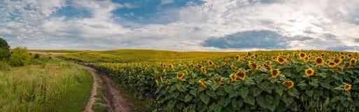 与向日葵的领域的全景与土路的 图库摄影