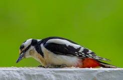 与向日葵种子的啄木鸟饲养时间在阳台 库存照片