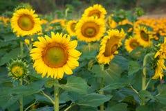 与向日葵领域的向日葵在背景中 图库摄影